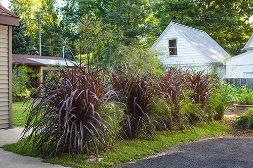 Annual Ornamental Grasses Ornamental grasses for inspired designs proven winners many people think of perennial grasses first when they begin to design landscapes but annual ornamental grasses offer one important benefitthey mature workwithnaturefo