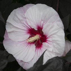 SUMMERIFIC \u0027Perfect Storm\u0027 & How to Grow \u201cDinner Plate\u201d Hibiscus | Proven Winners