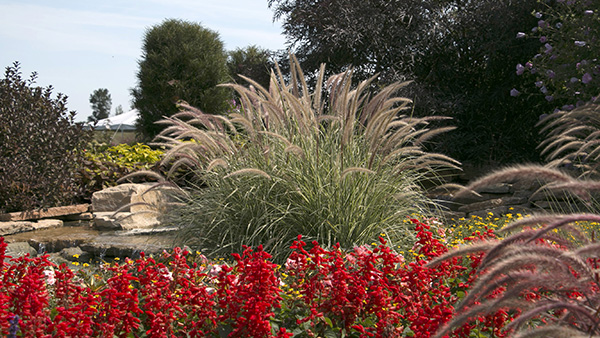 Ornamental grasses for inspired designs proven winners annual ornamental grasses like graceful grasses sky rocket fireworks and red riding hood pennisetum mature quickly into gracefully arching clumps that workwithnaturefo