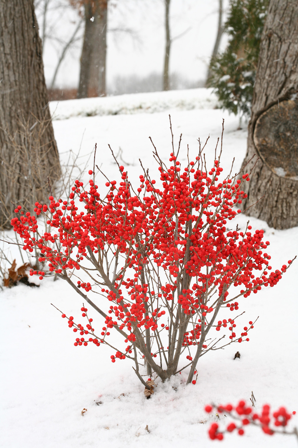 Shrubs With Winter Interest Proven Winners