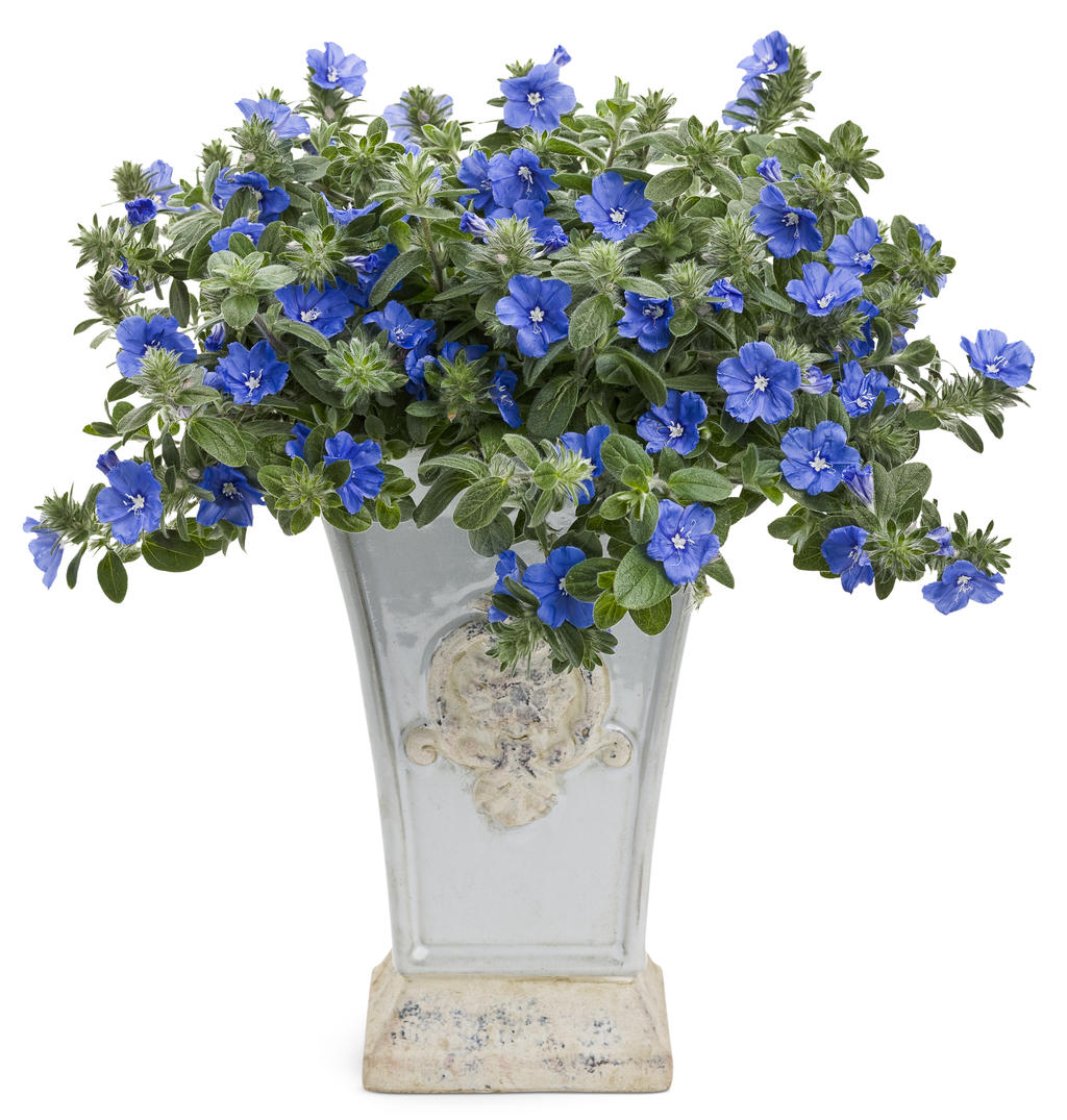 A star is born annuals proven winners first of all theres a new true blue flowering plant and it is heat and drought tolerant does that blow your mind ok that might be taking it a bit far izmirmasajfo Choice Image