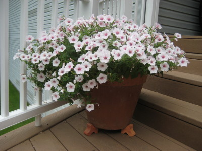 What is the best fertilizer for petunias?