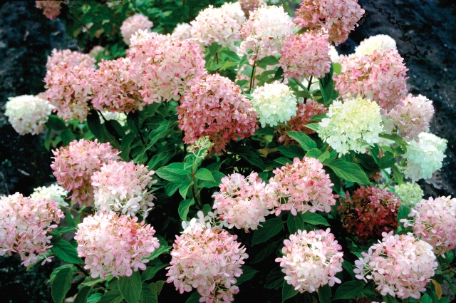 shrubs that burst into color for fall  proven winners, Natural flower