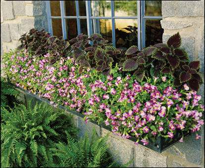 how to take care of impatiens plant