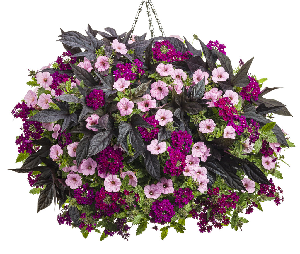 Best Flower Combinations For Hanging Baskets : Annuals some for shade height and that