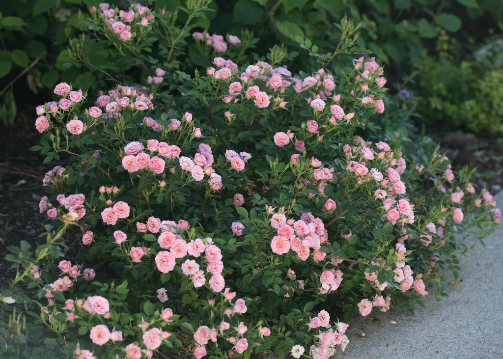 Top ten shrubs for containers and small gardens proven for Pretty low maintenance shrubs