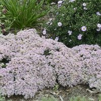 Got drought proven winners its bubblegum pink star shaped flowers completely cover every inch of foliage becoming a rounded ball of color in your containers or blanket of color in mightylinksfo Choice Image