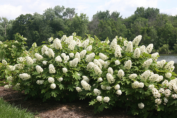 5 Top-Rated Shrubs for Easy Maintenance Landscapes ...