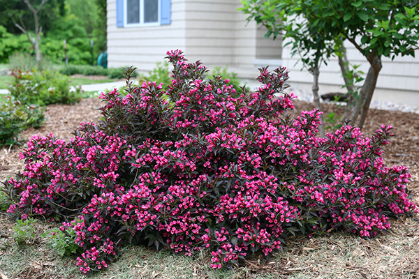 5 top rated shrubs for easy maintenance landscapes for Easy maintenance shrubs
