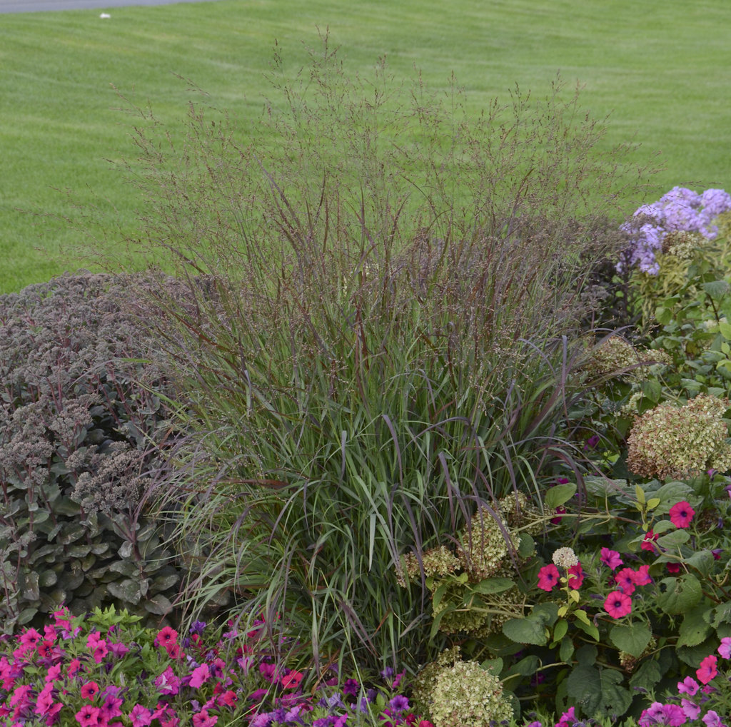 Caring for ornamental grasses short version proven winners for Short landscape grasses