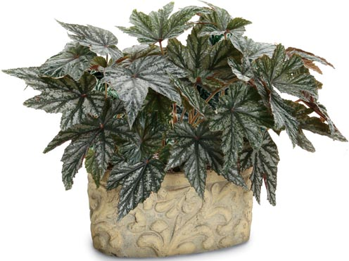 unbelievable house plant with green and pink leaves. As fall approaches many gardeners want to bring their flowers indoors  keep enjoying them into the and winter months Begonias are often a problem Overwintering Proven Winners