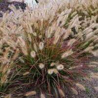Short Ornamental Grasses Caring for ornamental grasses short version proven winners clean up division workwithnaturefo