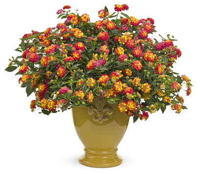 easiest annuals to grow  proven winners, Natural flower