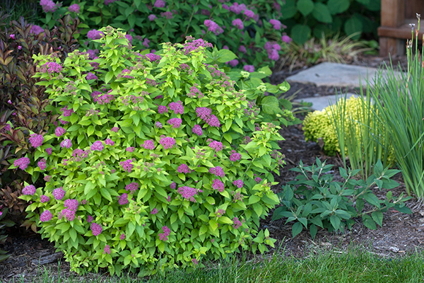 5 top rated shrubs for easy maintenance landscapes for Easy to maintain bushes